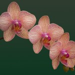 Three Orchids by Marjorie Forrest